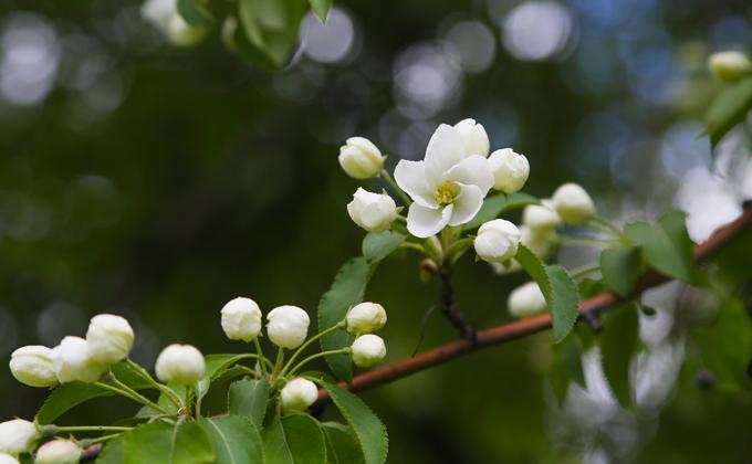 Яблони зацвели в Новосибирске