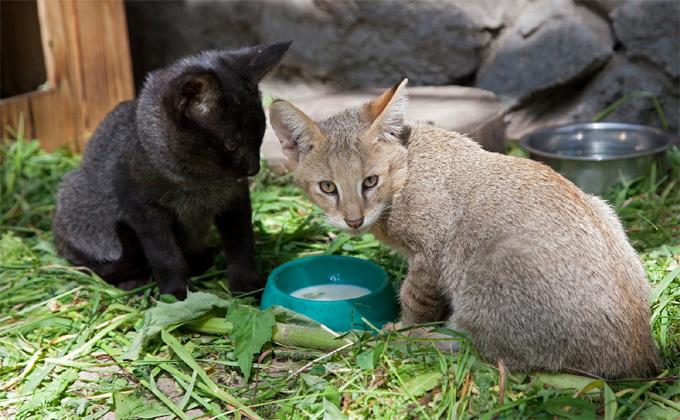 Камышовый котенок редкого окраса родился в Новосибирском зоопарке