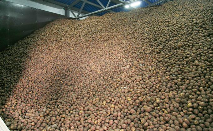 Больше картофеля стали сажать в регионе