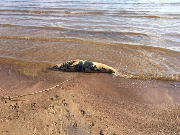 В Репино горожане нашли мертвого тюленя на пляже